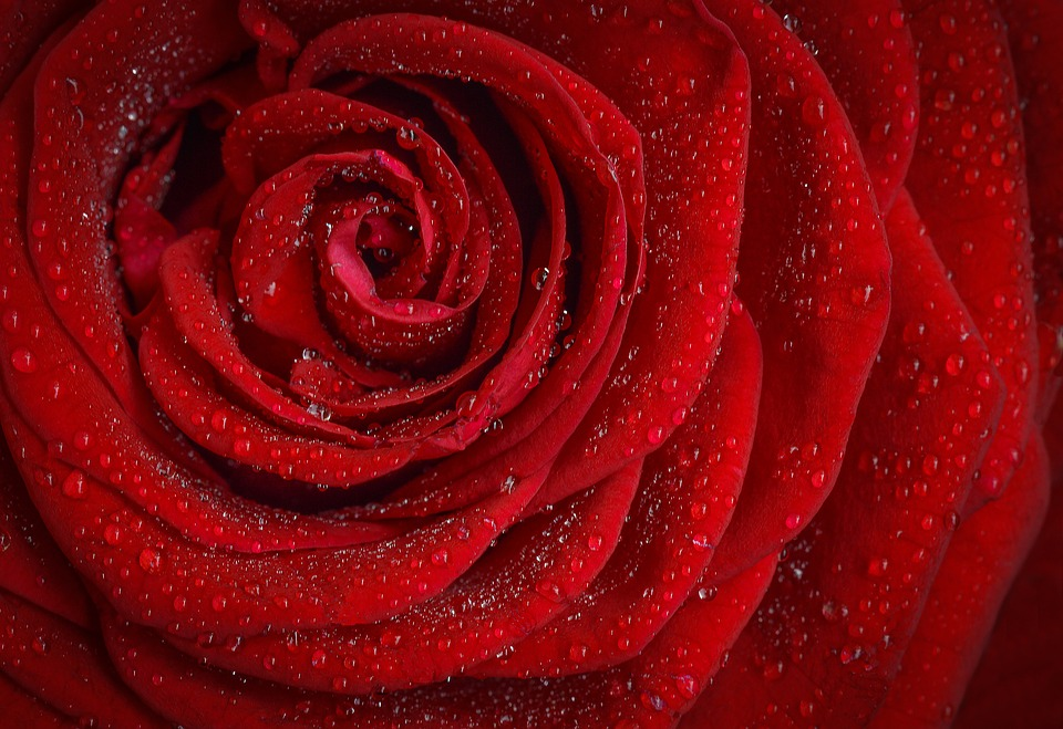 Red Rose from Pixabay