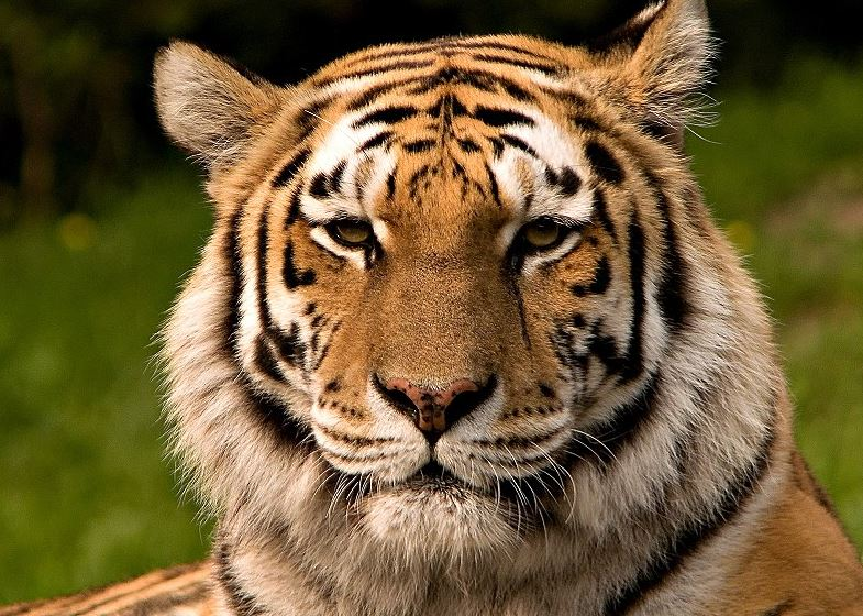 Tiger from Wikimedia Commons