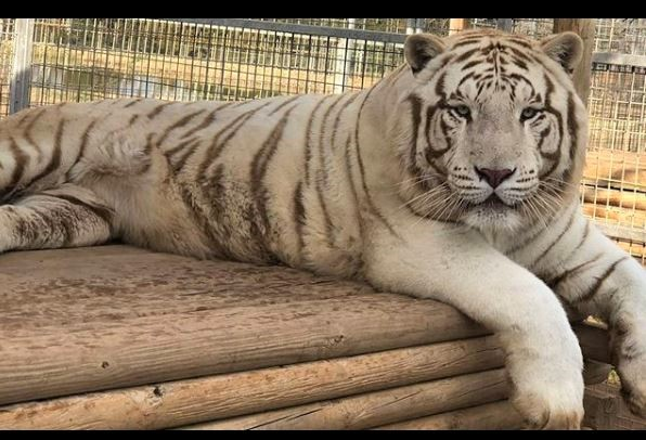 Tiger King white tiger