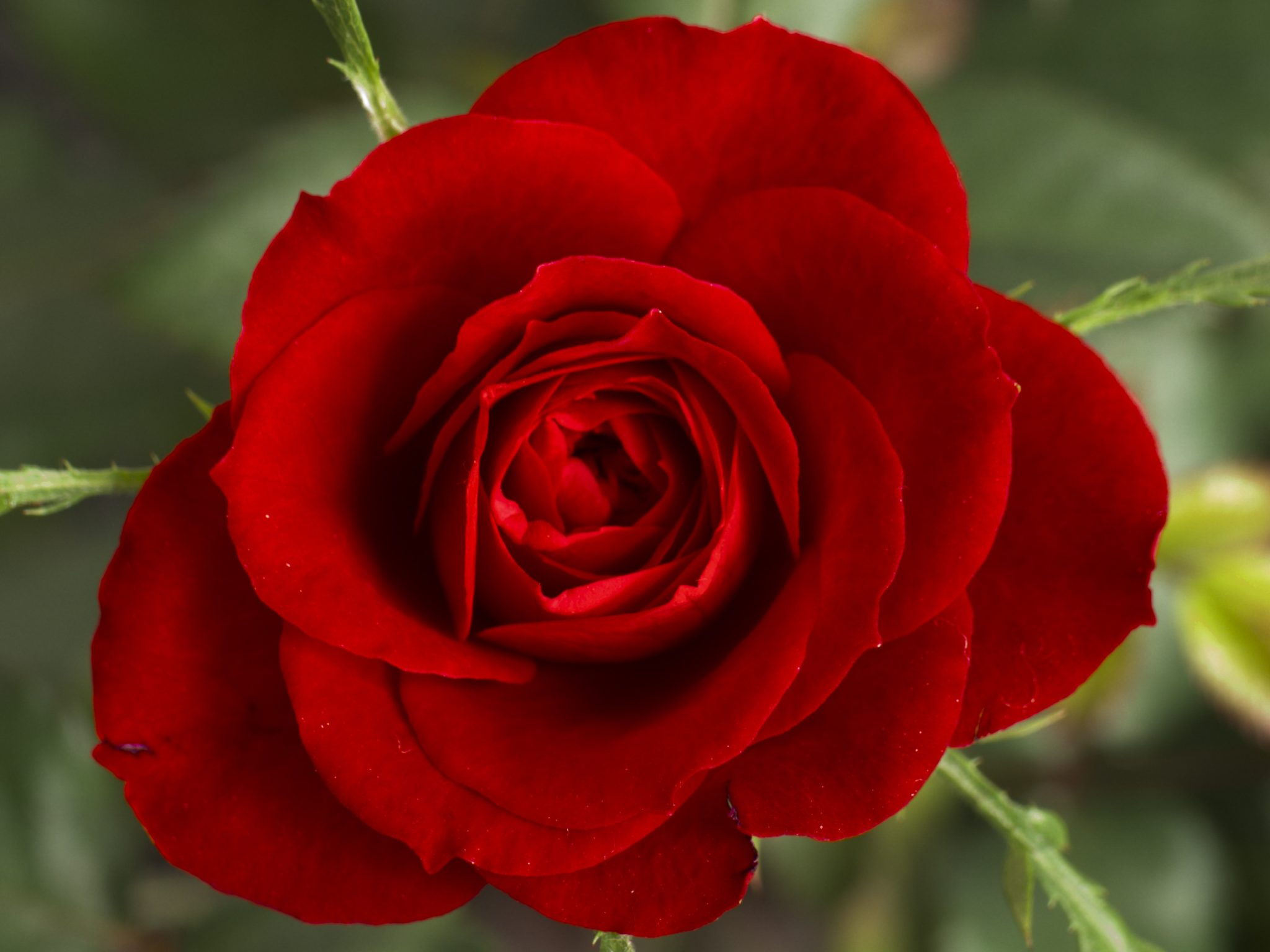 Red Rose Wikimedia Commons The Bachelorette